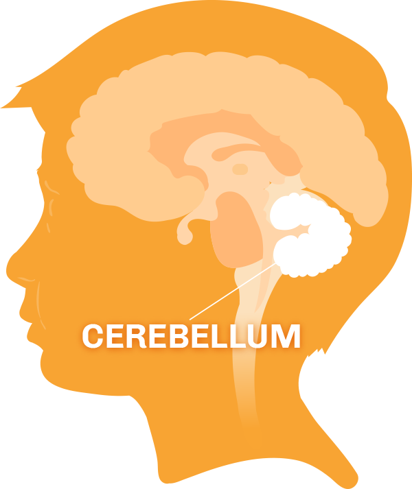 Diagram of the brain with the cerebellum highlighted